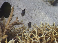 Mimic filefish courting, Paraluteres prionurus, UP4535 Stock Footage