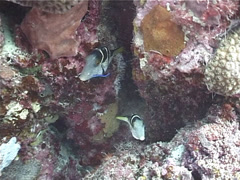 Adults and juveniles Mimic filefish cleaning and being cleaned, Paraluteres Stock Footage