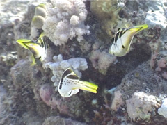 Mimic filefish courting, Paraluteres prionurus, UP4537 Stock Footage
