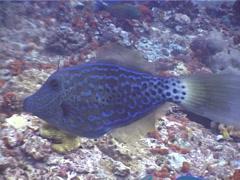 Scrawled filefish swimming, Aluterus scriptus, UP4540 - stock footage