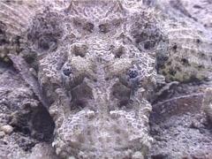 Crocodilefish, Cymbacephalus beauforti, UP4547 Stock Footage