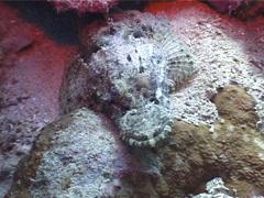 Crocodilefish, Cymbacephalus beauforti, UP4548 Stock Footage