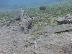 Panther flounder swimming on muck, Bothus pantherinus, UP4556 Stock Footage