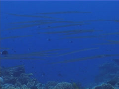 Smooth flutemouth swimming and schooling, Fistularia commersonii, UP4565 Stock Footage