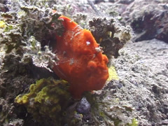 Painted frogfish, Antennarius pictus, UP4571 Stock Footage