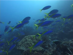 Stock Video Footage of Blue and gold fusilier swimming and schooling on shallow coral reef, Caesio