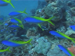 Blue and gold fusilier swimming and schooling on deep coral reef, Caesio teres, Stock Footage