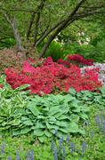 colorful spring azaleas and hosta plants - stock photo