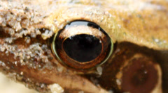 Frog eyes wide open Stock Footage