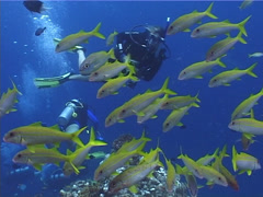 Group of scuba divers swimming on coral bommie with Yellowfin goatfish in Stock Footage
