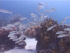 Yellowstripe goatfish swimming and schooling on shallow coral reef, Stock Footage