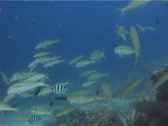 Yellowstripe goatfish swimming and schooling, Mulloidichthys flavolineatus, Stock Footage