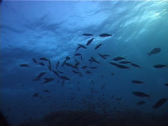 Fish | Fusiliers | Ruddy Fusilier | Feeding | Silhouette Stock Footage