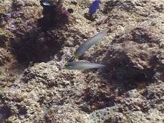 Blueband goby feeding, Valenciennea strigata, UP4651 Stock Footage