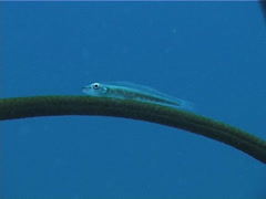 Large whipgoby, Bryaninops amplus, UP4663 Stock Footage