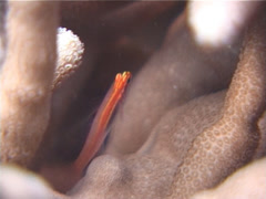 Neon dwarfgoby hovering on hard coral microhabitat, Eviota atriventris, UP4672 Stock Footage