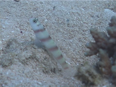 Steinitzs shrimpgoby, Amblyeleotris steinitzi, UP4687 Stock Footage