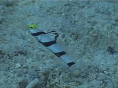 Yellownose shrimpgoby swimming, Stonogobiops xanthorhinica, UP4699 Stock Footage