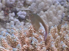 Ringeye hawkfish, Paracirrhites arcatus, UP4708 Stock Footage