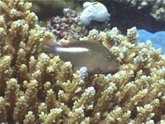 Ringeye hawkfish swimming, Paracirrhites arcatus, UP4710 Stock Footage