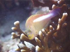 Ringeye hawkfish swimming, Paracirrhites arcatus, UP4711 Stock Footage