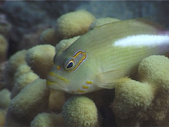 Ringeye hawkfish, Paracirrhites arcatus, UP4718 Stock Footage
