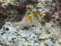 Dwarf hawkfish, Cirrhitichthys falco, UP4727 Stock Footage