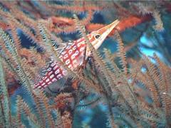 Longnose hawkfish, Oxycirrhites typus, UP4728 Stock Footage