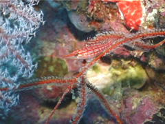 Longnose hawkfish hovering, Oxycirrhites typus, UP4729 Stock Footage