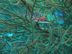 Longnose hawkfish, Oxycirrhites typus, UP4735 Stock Footage