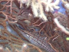 Longnose hawkfish, Oxycirrhites typus, UP4740 Stock Footage
