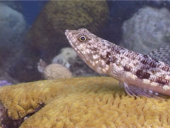 Reef lizardfish, Synodus variegatus, UP4749 Stock Footage