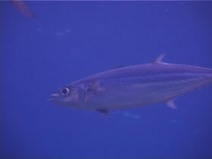 Double-lined mackerel swimming and schooling, Grammatorcynus bilineatus, UP4756 Stock Footage