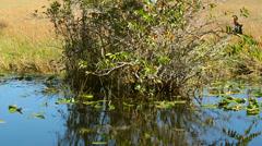 Alligator in Florida Stock Footage