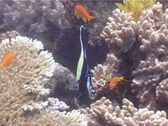 Moorish idol swimming, Zanclus cornutus, UP4777 Stock Footage