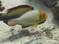 Juvenile Bicolor parrotfish feeding, Cetoscarus bicolor, UP4817 Stock Footage