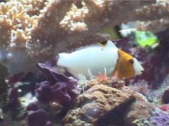 Bicolor parrotfish feeding, Cetoscarus bicolor, UP4818 Stock Footage