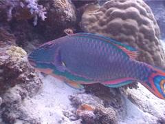 Bicolor parrotfish feeding, Cetoscarus bicolor, UP4823 Stock Footage