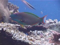 Bicolor parrotfish feeding, Cetoscarus bicolor, UP4824 Stock Footage