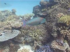 Bicolor parrotfish swimming, Cetoscarus bicolor, UP4825 Stock Footage