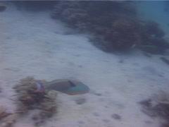 Bicolor parrotfish courting, Cetoscarus bicolor, UP4828 Stock Footage