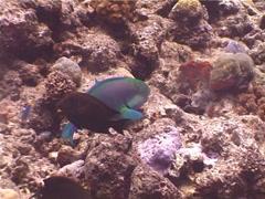 Bleekers parrotfish feeding, Chlorurus bleekeri, UP4832 Stock Footage