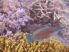 Male adult Bullethead parrotfish cleaning and being cleaned, Chlorurus sordidus, Stock Footage