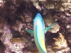 Male adult Bullethead parrotfish feeding, Chlorurus sordidus, UP4841 Stock Footage