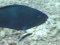 Cleaner wrasse cleaning and being cleaned, Labroides dimidiatus, UP4859 Stock Footage