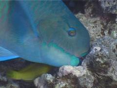 Steephead parrotfish feeding, Chlorurus microrhinos, UP4863 Stock Footage