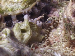 Brownbanded pipefish, Corythoichthys amplexus, UP4879 Stock Footage