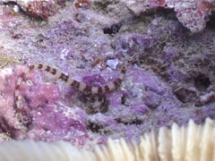 Brownbanded pipefish swimming, Corythoichthys amplexus, UP4881 Stock Footage