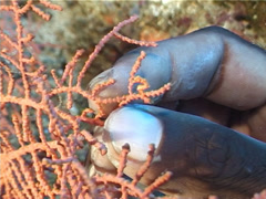 Denises pygmy seahorse, Hippocampus denise, UP4891 Stock Footage