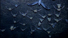 group of  bats - stock footage